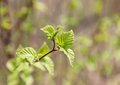 First spring leaves of birch a on a blurred background Stock Image
