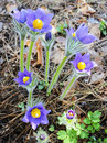 The first spring snowdrops pulsatilla patens blooming in woods Royalty Free Stock Photography
