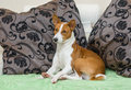 First steps of newborn foal sleepy basenji dog being resting on the sofa Royalty Free Stock Image