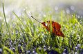 First summer end falling apple tree leaf in dewy grass Royalty Free Stock Photo