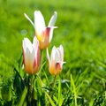 First tulips april on a meadow the spring blossomed Stock Photo