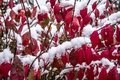 First winter snow on bushes with red leaves