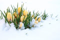 First yellow crocuses in snow Royalty Free Stock Images