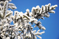 Firtree branch in snow tree winter hoarfrost Royalty Free Stock Image