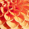 Firy orange bulb dahlia in extreme close up and in a square frame Stock Images