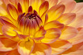 Firy yellow orange bulb dahlia in extreme close up Stock Images