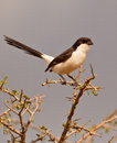 Fiscal Long-tailed Photo libre de droits