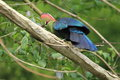Fischer turaco the adult on the branch Royalty Free Stock Photography