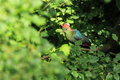 Fischer turaco sitting on the branch Stock Images