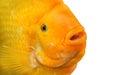 Fish Amphilophus Citrinellus Y...