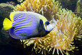 Fish angel or fish emperor and actinia sea anemone tropical other name latin name pomacanthus Stock Photos