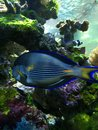 Fish this is a beautiful blue Royalty Free Stock Photo