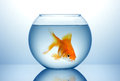 Fish bowl with cold fish gold in blue water Royalty Free Stock Image