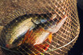 Fish catch pike and pike perch in net Stock Image