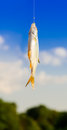 Fish caught on a hook. hanging in the air Royalty Free Stock Photo