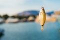 Fish caught on a hook.  The saddled seabream Oblada melanura Royalty Free Stock Photo
