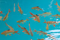 Fish in clear water view from above Royalty Free Stock Photo
