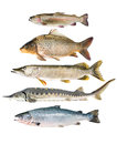 Fish collection isolated on the white background Royalty Free Stock Image