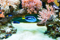 Fish and coral in aquarium Royalty Free Stock Photo