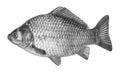 Fish crucian carp, isolated on white background. Royalty Free Stock Photo