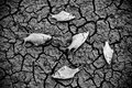 Fish died on cracked earth drought river dried up famine scarcity global warming natural destruction extinction Stock Photos