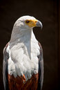 Fish eagle Royalty Free Stock Photography