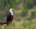 Fish eagle in profile Royalty Free Stock Images