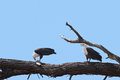 Fish eagles bickering two on a tree branch with one looking on as the other feeds on its catch Royalty Free Stock Photography