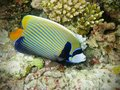 Fish : Emperor Angelfish Stock Image