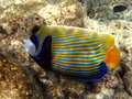 Fish : Emperor Angelfish Royalty Free Stock Photo