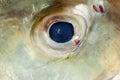 Fish Eye Close-Up Giant trevally. Royalty Free Stock Photo