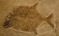 Fish fossil of a jurassic period gyrodus circularis or moonfish Royalty Free Stock Images