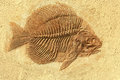 Fish fossil Royalty Free Stock Photo