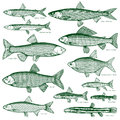 Fish freshwater vector 3 Royalty Free Stock Photo