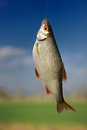Fish on hook a roach hanging the blurred sky and green field in the background Royalty Free Stock Images