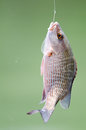 Fish on hook snapper and fishing line Stock Photos
