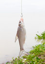 Fish on the hook Royalty Free Stock Photo