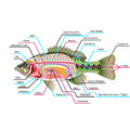 Fish internal organs Vector Art diagram Anatomy with Labels