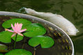 Fish and lily in pond Stock Photos