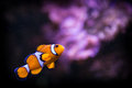 Fish nemo in aquarium Stock Image