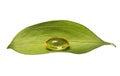 Fish Oil Capsule and Fresh Leaf. Vitamin A or Omega-3 Pills