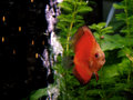 Fish - orange Discus Stock Photography