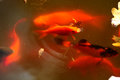 Fish in a pond orange koi swimming Royalty Free Stock Images
