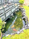 Fish pond in temple garden swimming a a within a chinese compound Royalty Free Stock Photo