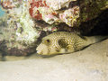 Fish puffer spotted white Royaltyfri Foto