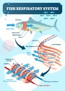 Fish respiratory system diagram vector illustration. Labeled anatomical scheme with gill arch, operculum, blood vessels and heart.
