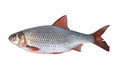 Fish rudd on a white background Royalty Free Stock Photos
