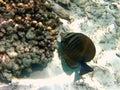 Fish : Sailfin Tang Royalty Free Stock Photo