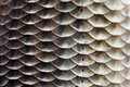 Fish scales skin texture macro view. Geometric pattern photo Crucian carp Carassius scaly with Lateral line. Selective Royalty Free Stock Photo