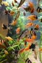 Fish of school in aquarium Stock Photos